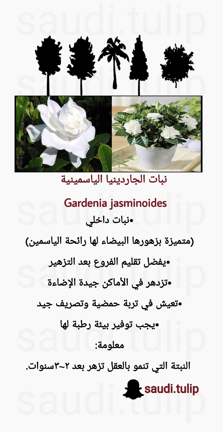 Pin By Saudi Tulip On نبات Plants Gardenia
