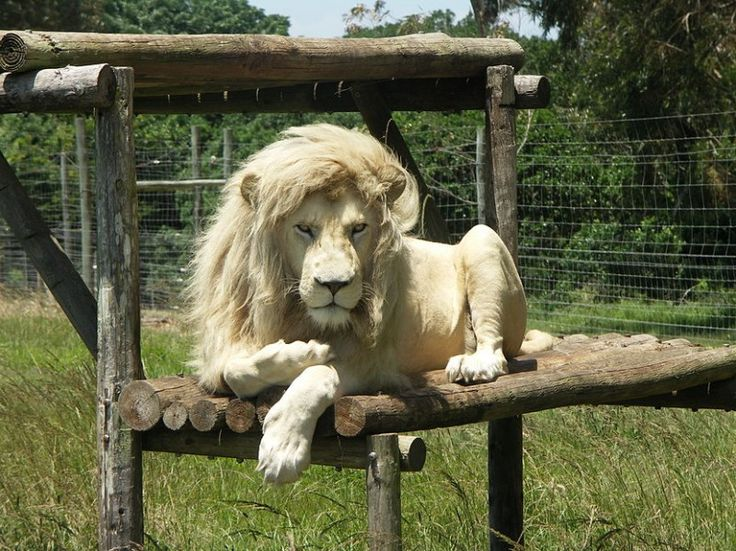 White Lion at the Seaview Game & Lion Park