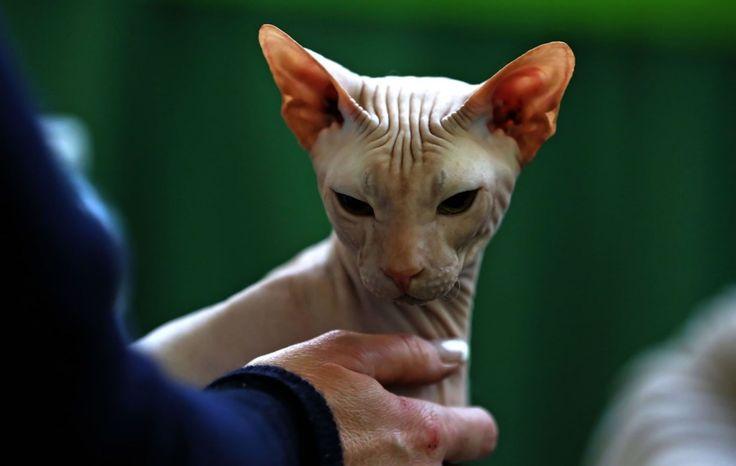 Vengono da tutta Europa , 500 esemplari di trenta razze diverse: a disputare alla Fiera di Genova i  Campionati internazionali ed europei di bellezza. Certosini, blu di Russia, bengal, sphinx, ma anche i gatti nudi, senza pelo, come quello nell'immagine. E ancora i grandissimi Maine Coons, i n