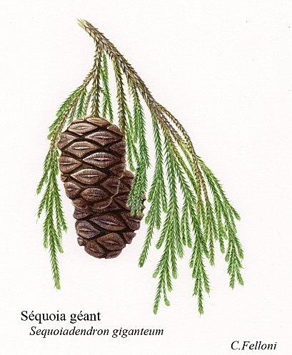 Sequoia illustration