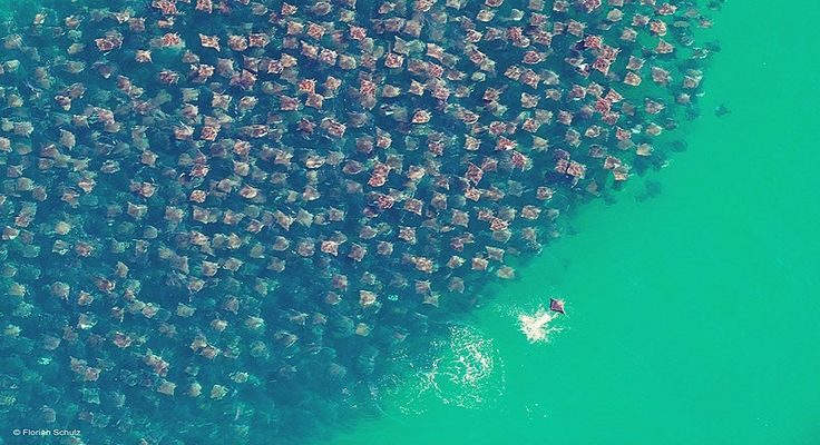 The migration of golden cownose rays in the Gulf of Mexico is a sight that will leave you breathless, and maybe slightly terrified. Twice a year these stingrays migrate to warmer waters byfollowing the clockwise current from Mexico's Yucatan peninsula to western Florida. They migrate only twice a …