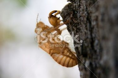 Cicada molt Royalty Free Stock Photo
