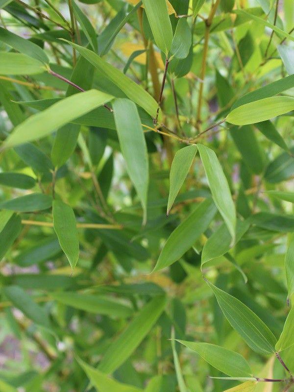 Phyllostachys aureosulcata 'Spectablis' (Reuzenbamboe) - Bamboe - Planten #Bamboe #woekerend #niet-woekerend #natuurlijk #milieuvriendelijk #kweker #themaweek #workshop