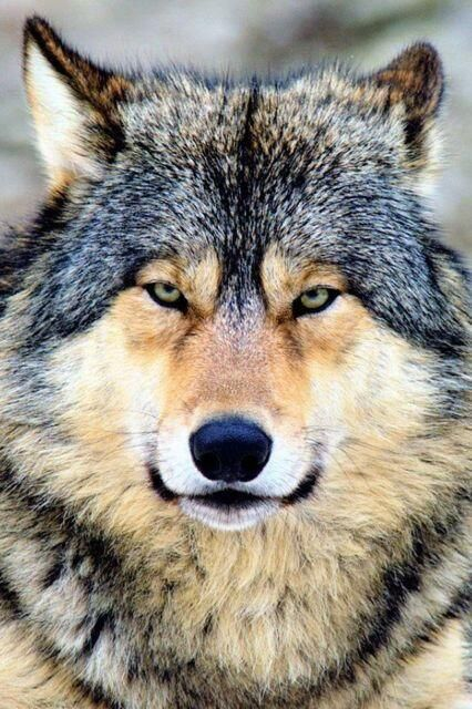 .STOP KILLING WOLVES !