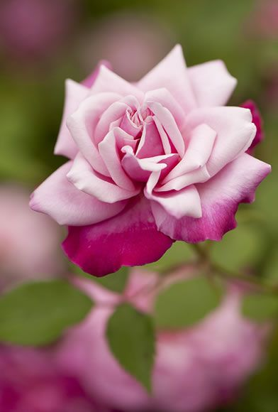 ~China Rose: Rosa 'Archduke Charles' (sport of 'Old Blush discovered in France, c.1825)