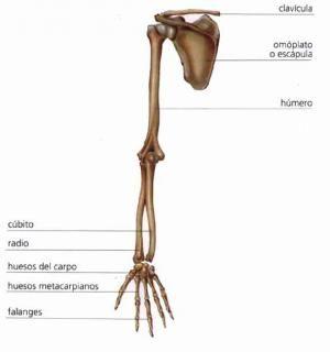Cómo se llaman los huesos del brazo. El esqueleto del brazo se compone por tres partes: brazo, antebrazo y mano.