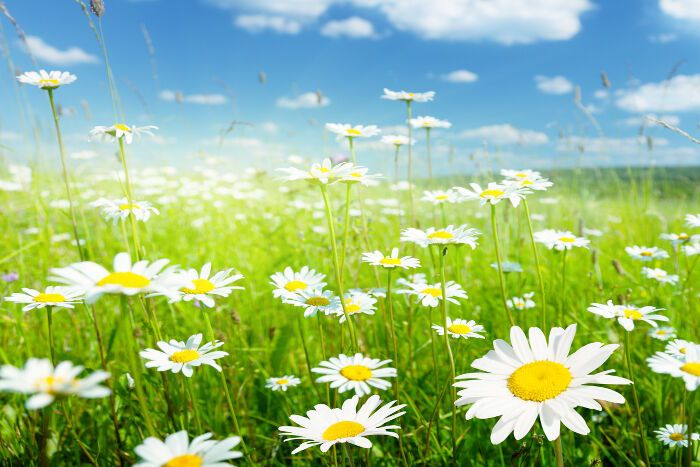 The Daisy Flower: It's Meanings and Symbolism   When someone is talking about a daisy, what specifically do they mean? Usually, they just mean a small white round flower with a round yellow or blue center. When botanists refer to daisies, they mean