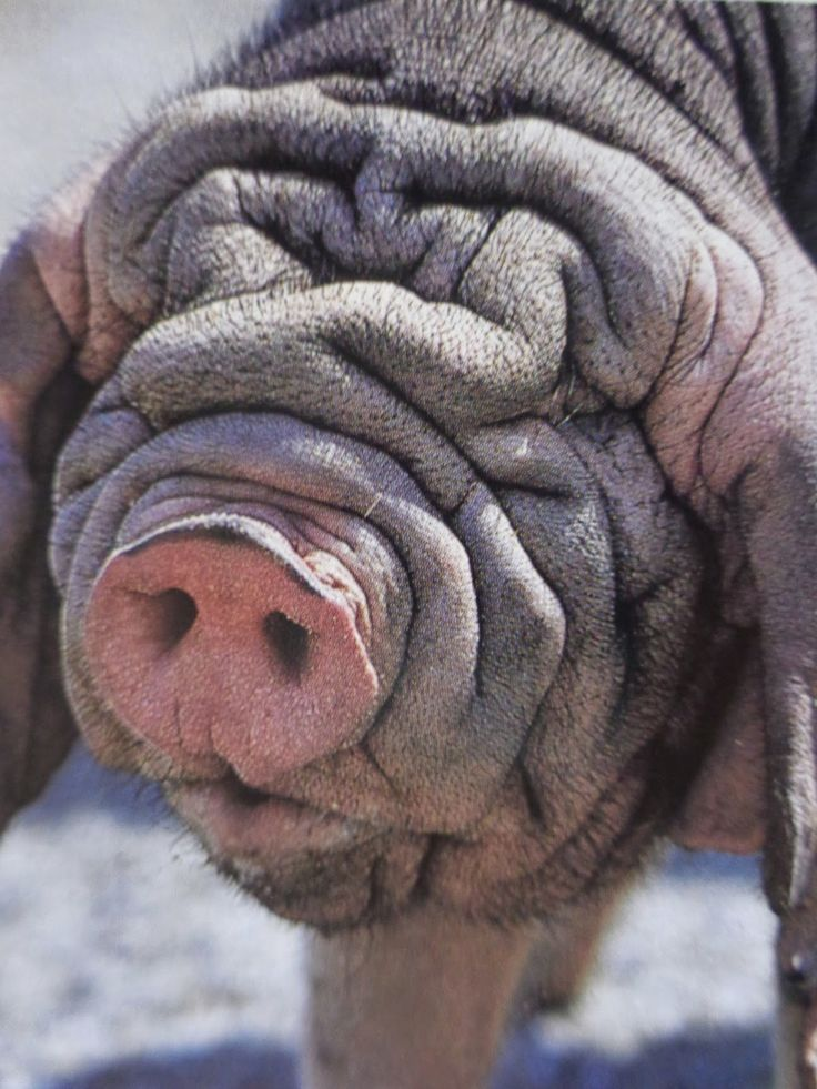 Meishan pig - Who needs eyes when you have sniff sniff?