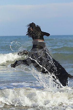 Big Black Schnauzer Dog jumping by Frank11, via Dreamstime