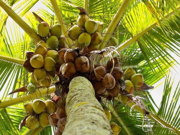 Reasons to Be Nuts for Coconuts
