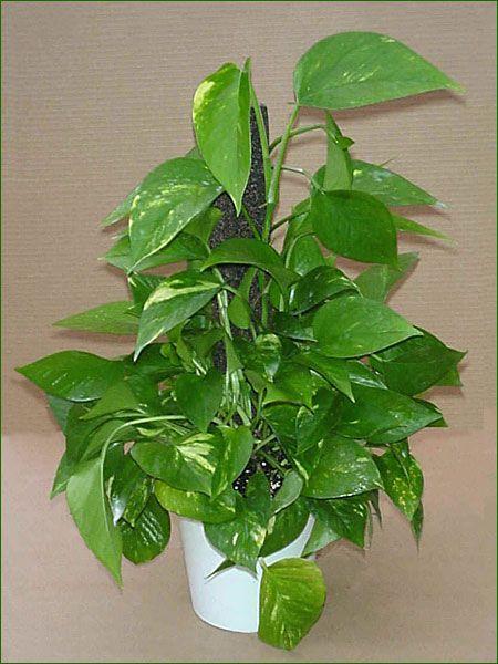 Merveilleux Plantes Depolluantes Pour La Maison #4: B3ad1fd5fe66e343467b9199c0de4c14.jpg