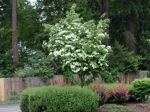 Top best kousa dogwood ideas on pinterest