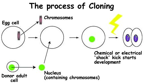 the process of cloning   biotechnology