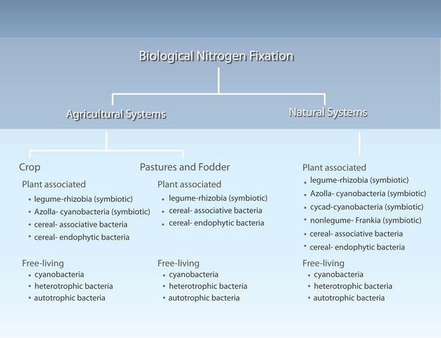 Great Article About Nitrogen Fixation Nitrogen Fixation High School Biology Biology