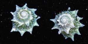 spiky snail - Google Search