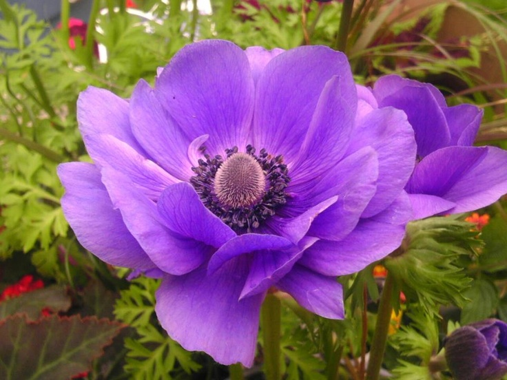 Flower of the Day from my Garden: Anemone....thrives in the shade. Will be planting flowers all week.. Just a few days until that beautiful 3 day weekend :-)