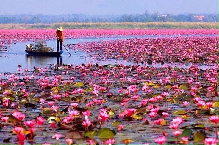 Вьетнам, озеро лотосов... Vietnam, lotus lake....