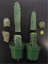 Omg im going to do this and make a moon cactus, the ones with the bright colored tops