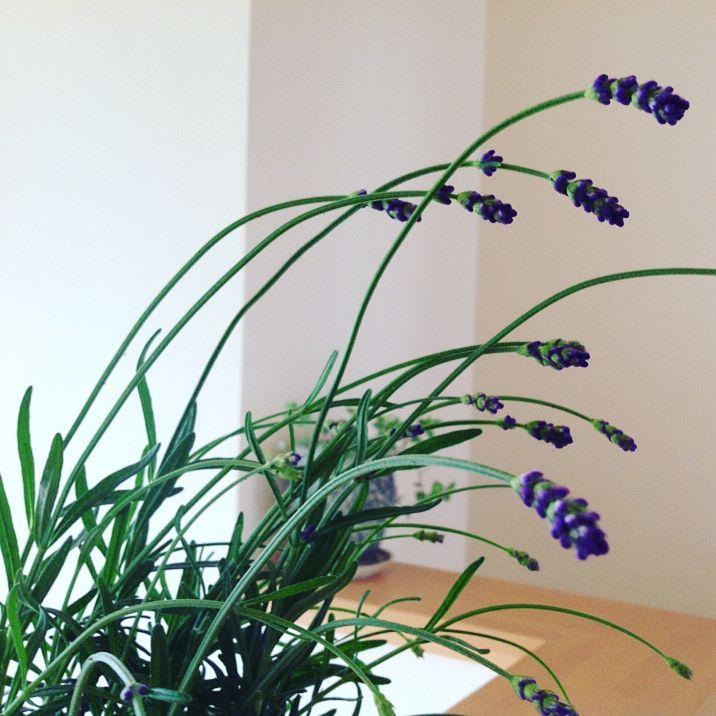 * 雨 上がった? * 富良野ラベンダー�� * ワサワサの所をちょっと剪定して 家の中に飾りました * 和室の前のブルーベリーが 雨粒をつけて 可愛い・・・�� * #富良野ラベンダー#ラベンダー #花#はなまっぷ #花フレンド  #ザ花部 #グリーン#植物 #癒し #花のある暮らし #庭仕事 #ブルーベリー #雨上がり#雨粒 #日々の暮らし #暮らしを楽しむ  #flower #flowers #green #flowerstagram #garden #mygarden http://gelinshop.com/ipost/1527954610210586112/?code=BU0Yp9ehb4A