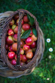 red plums by Laura Adani - Stocksy United - Royalty-Free Stock Photos (www.lauraadani.com)