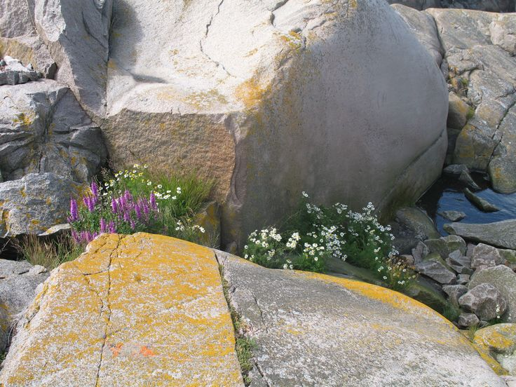 Flowers on the island,Lighthouse  Bengtskär Finland Photo Pirjo Pesonen