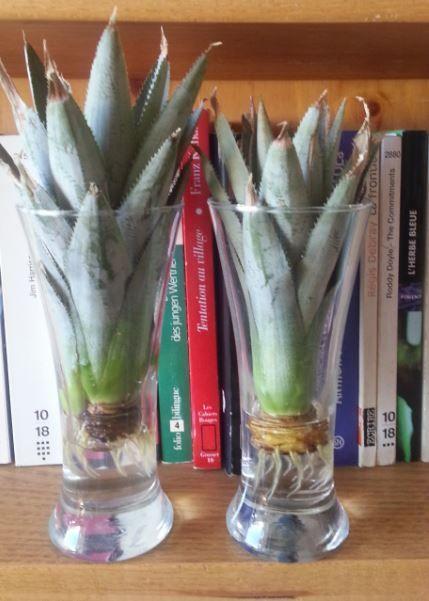 La plante d un ananas est magnifique et facile faire pousser inside garden planters and - Comment faire pousser un ananas ...