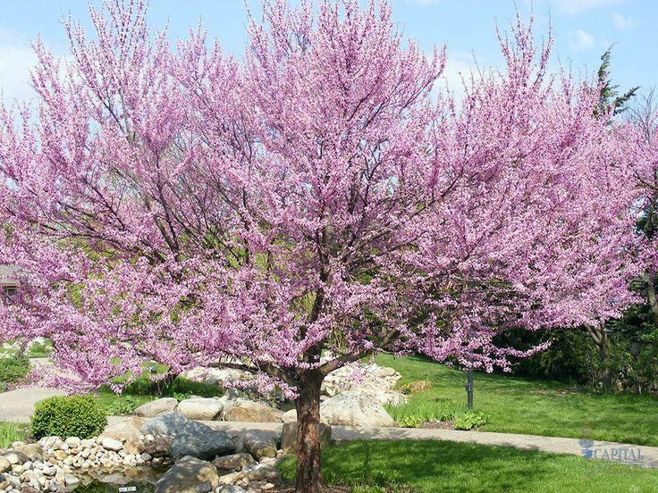 Sacramento landscaping deciduous tree recommendations for Garden deciduous trees