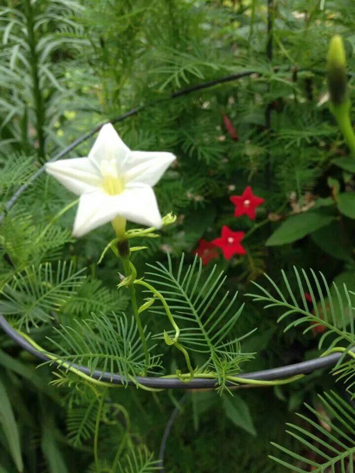 Cyprus Vine Star Shaped Flower Bebe Just Blooms In