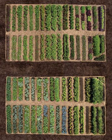 Row by Row  Martha's vegetable garden was laid out with rigorous geometry to yield maximum results and easy access. The major cross-axial paths are 10 feet wide and can accommodate a garden cart or a pickup truck. Each row of vegetables is 30 inches wide, and the paths between them are 12 inches wide, which makes it simple to hoe and weed from both sides. To minimize weeds and retain moisture, each row is mulched with salt hay, a grass harvested in marshes