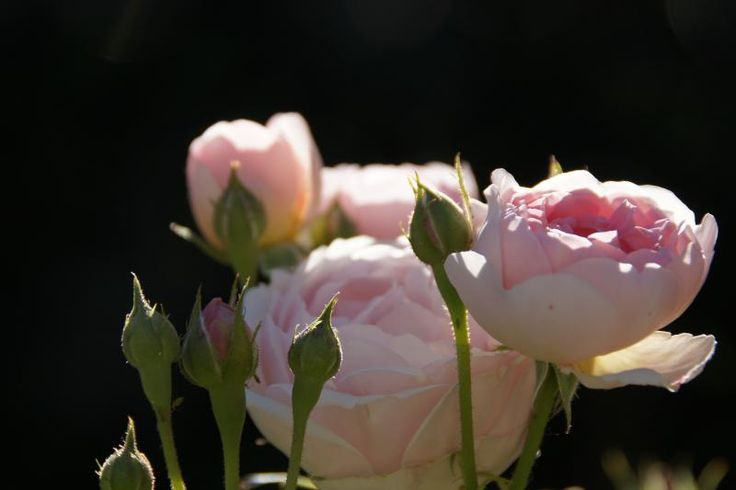 St. Cecilia ® - David Austin® English Roses - Roses - Heirloom Roses