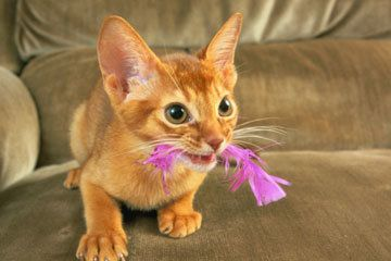 Abyssinian (?) kitten with hot pink feather