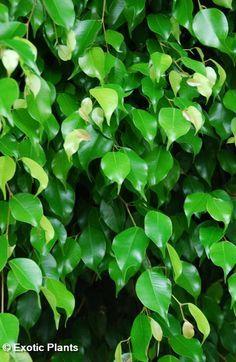 Ficus benjamina - higuera llorosa china - Arboles semillas