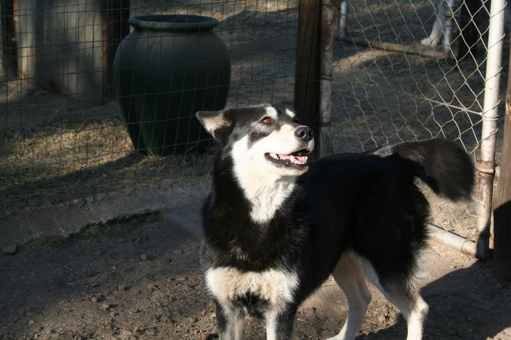 598 _ Ink 1,5 Year old black & white female with 2 brown eyes. Contact Jasper on 0832312290 or jasper@huskyrescue.co.za.
