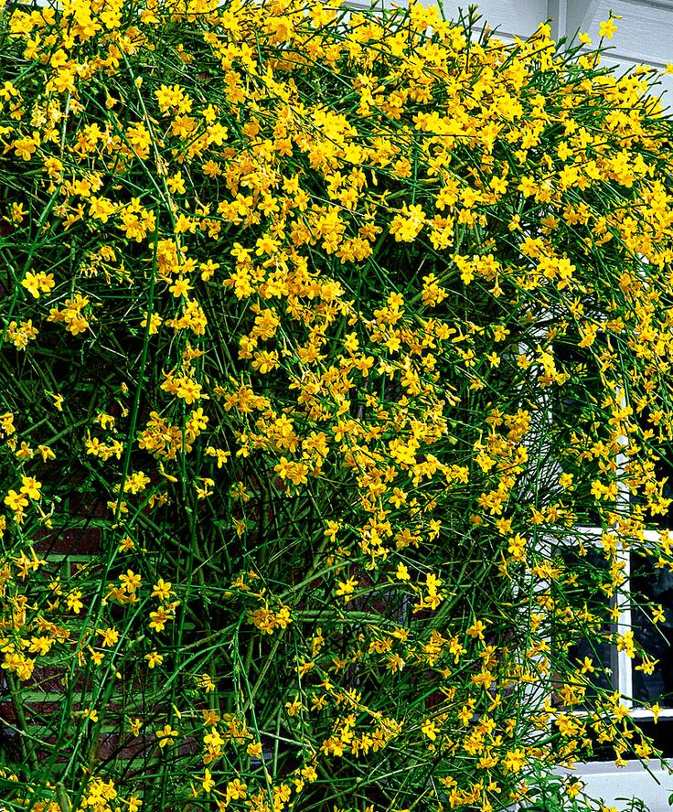 Winter Jasmine (Jasminum Nudiflorum) - zone 6-9 - climbing plant - sun to part shade - yellow flowers in late winter - not fragrant http://apps.rhs.org.uk/advicesearch/Profile.aspx?pid=291