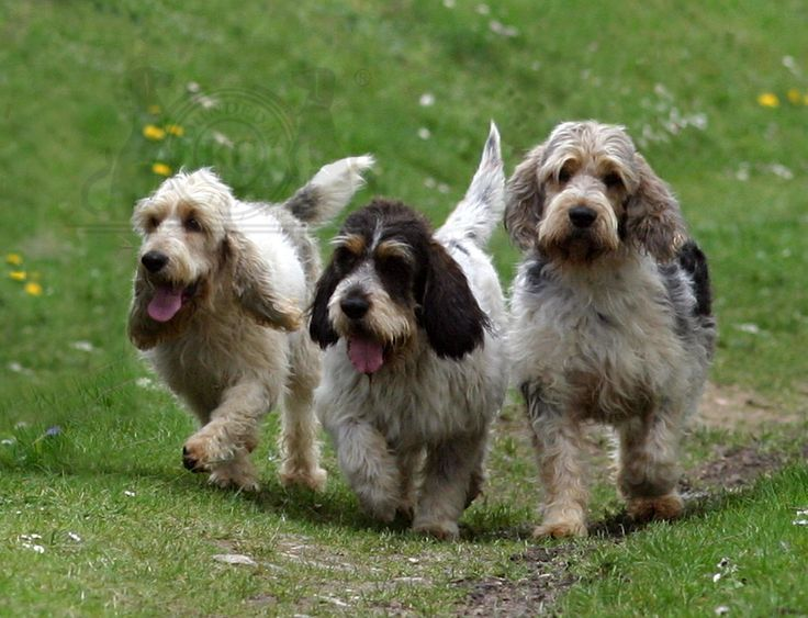 grand basset griffon vendeen | Know about Grand Basset Griffon Vendéen | Know about Dog