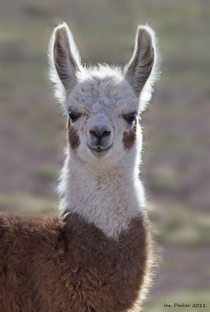 Young Llama : Bolivia