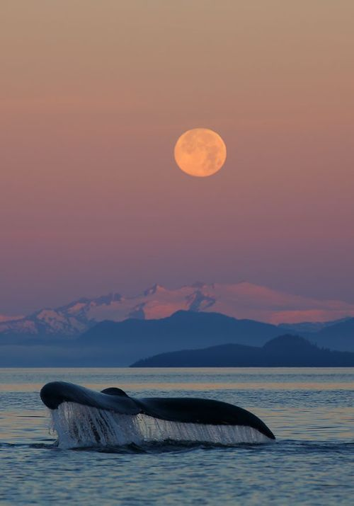 ' Humpback Whale at sunrise with full moon' Tongass National Forest, Alaska, by Ron Niebrugge