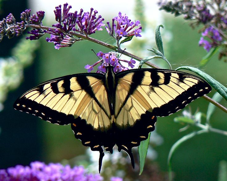how to grow butterfly bush from seed