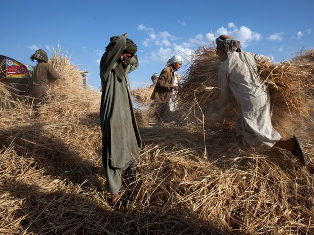 Agricultores afegãos trabalham numa plantação de trigo.