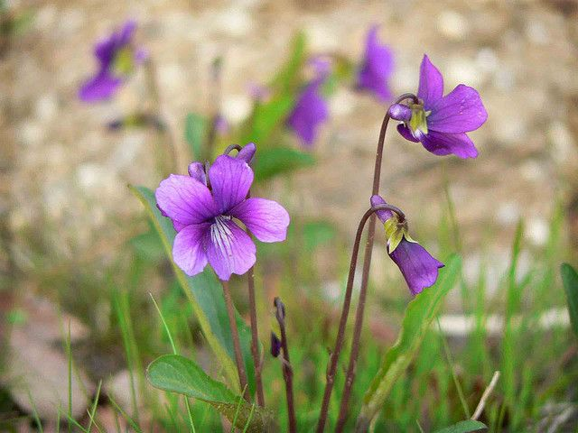 Violets Violet Care And Maintenance Tips For Growing