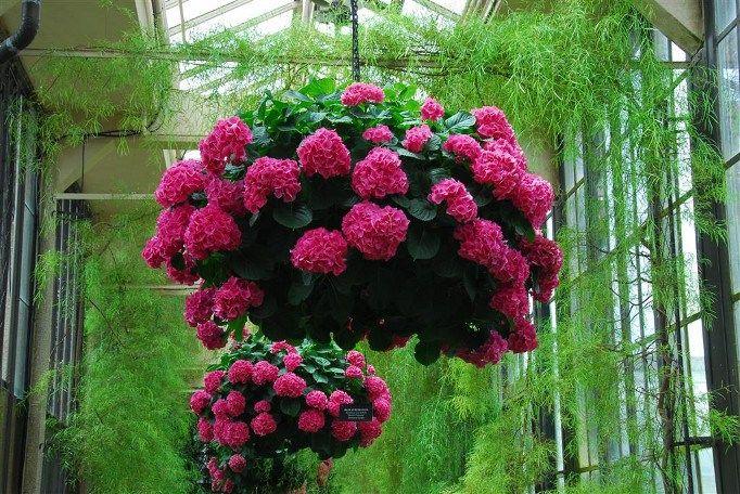 Hydrangeas com forte tom rosa.