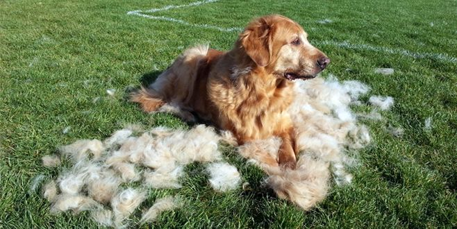 This is probably the one thing that we all, as pet parents know how frustrating it can be, all that dog hair that gets on the furniture and carpet. Someone ha