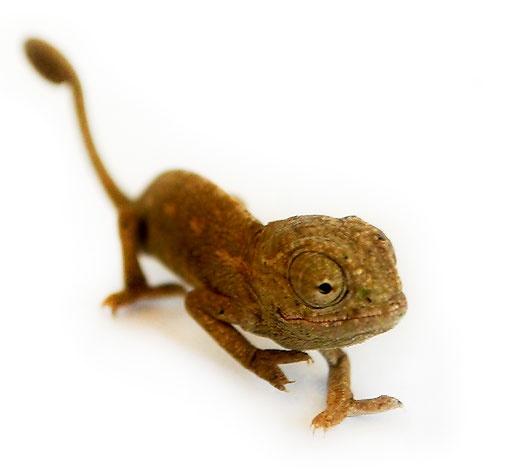 Jackson Chameleon Tattoos: 76 Best Chameleons Images On Pinterest