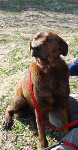 02/15/2016 ★ ADOPT Darby ★ a rescue dog, 5 years old, brown brindle, large sweet gentle male dog, good with people, dogs and children, available for adoption at Rescue K911 in East Alabama.