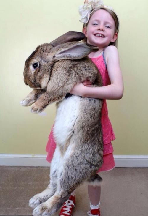 World's largest bunny needs to have his bum supported while being carried!