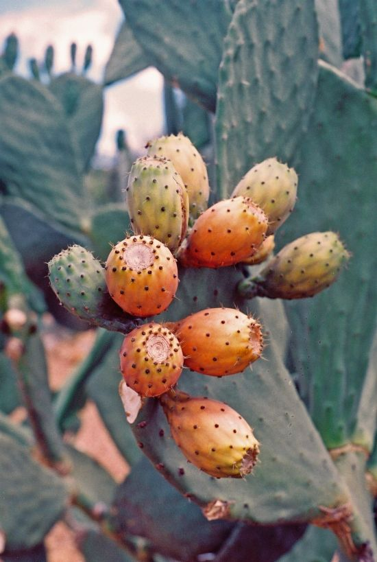 Prickly pears - the fruit of the cactus. It's a delicious fruit to eat (peeling is quite an art because of the tiny thorns on the peel)!