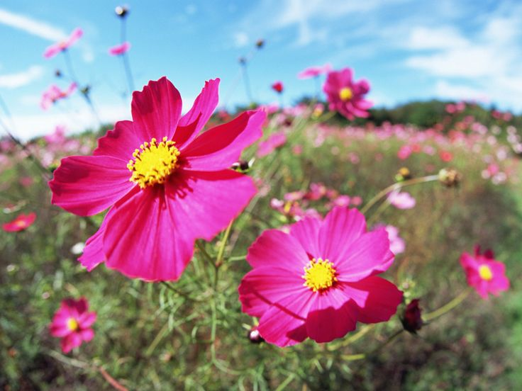 cosmo flower pictures | Cosmos bipinnatus Flower photos | Trees and Flowers Pictures