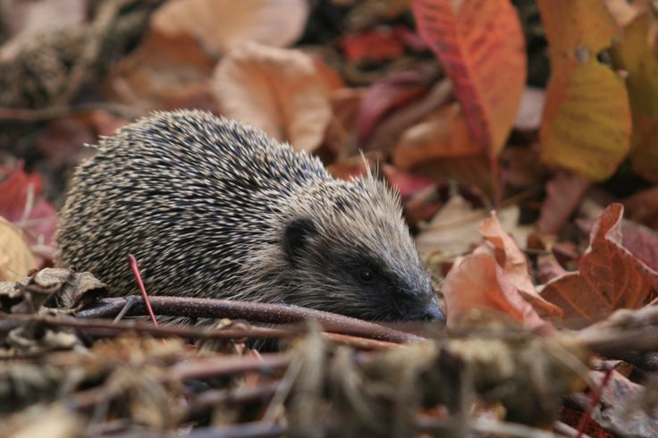 Hedgehog in the New Forest.