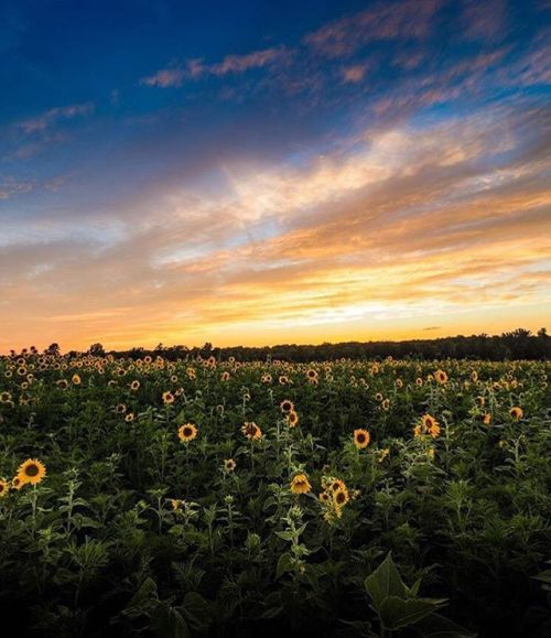 Summer = sunflowers  @craigspieling found this gorgeous patch in Bellview Gardens VA. Wheres your favorite field to photograph? Captured with an Olympus PEN-F and M.ZUIKO 7-14mm f2.8 PRO lens. via Olympus on Instagram - #photographer #photography #photo #instapic #instagram #photofreak #photolover #nikon #canon #leica #hasselblad #polaroid #shutterbug #camera #dslr #visualarts #inspiration #artistic #creative #creativity