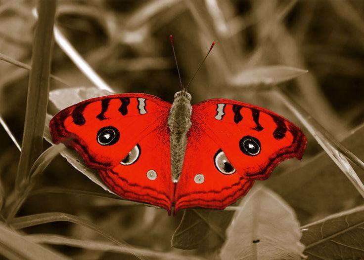 WallArt - Butterfly - Presentorium